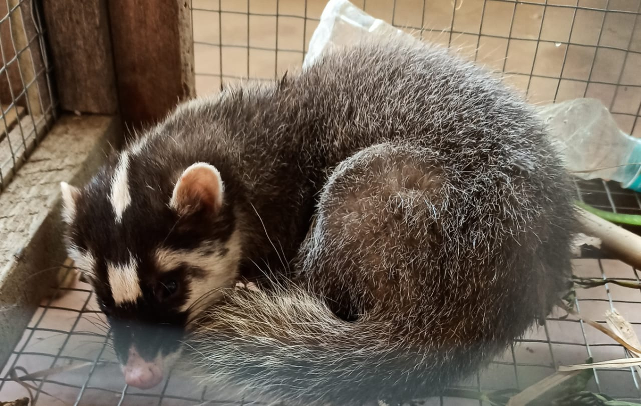 Stranded Ferret Badger Rescued