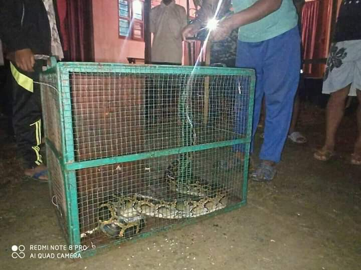 Python enters Kumbi PS, rescued